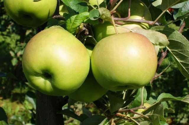 Słów parę o jabłkach